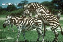 Plains zebra copulation