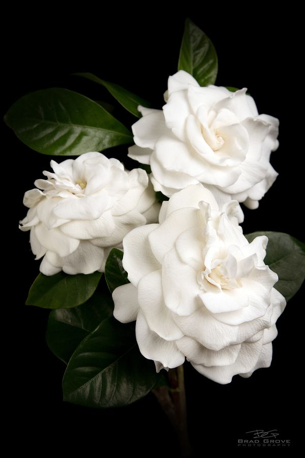 Gardenia: White Flowers, Favorite Flowers, Gardenias, Beautiful Flowers, Bloom, Floral, Gardenia Flower