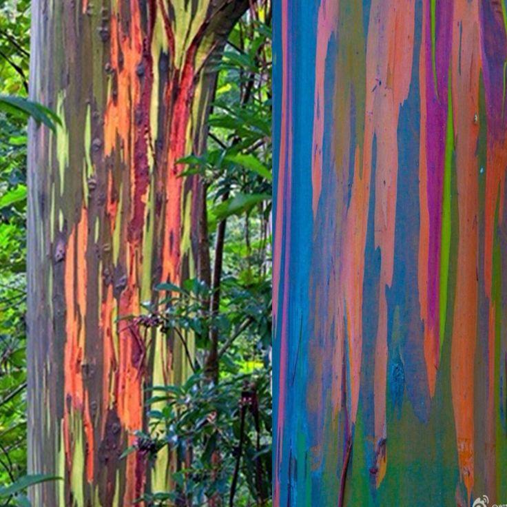 Eucalyptus deglupta | Details about 40x Tree Rainbow Eucalyptus Deglupta Mindanao Gum Seeds ...