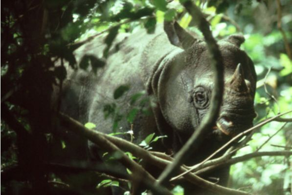 The Javan Rhinoceros is the worlds most endangered mammal. Living on the island of Java, Indonesia it has been systematically poached for its valuable horn