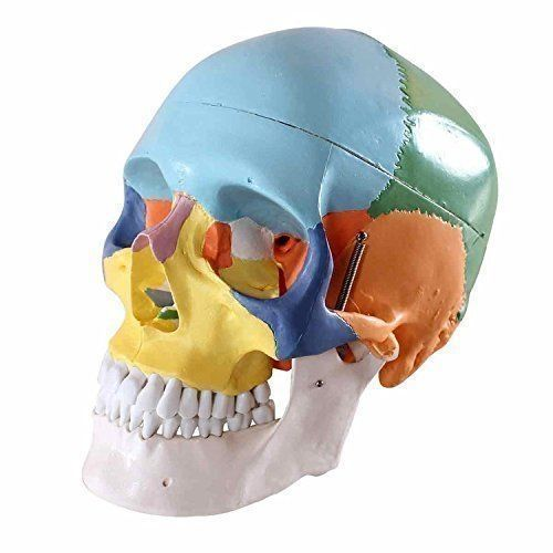 68.79$  Watch here - http://alidex.worldwells.pw/go.php?t=32713628151 - Dental Colored Anatomical Human Skull Model 3 parts Ceramic White Teaching Model