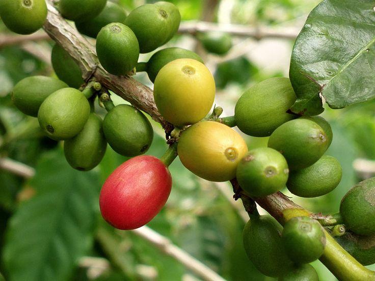 Кофе арабский - Coffea arabica, кофе фото