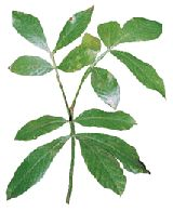 This is Cats Claw.....but this is an excellent site for all Herbs and what they do in our bodies...... :)