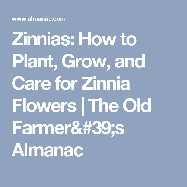 Zinnias: How to Plant, Grow, and Care for Zinnia Flowers | The Old Farmer's Almanac