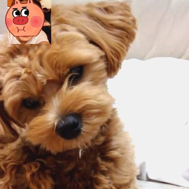 マッシュとテレビ電話 首傾げてる 母に預けたら、遠吠えのクンクン鳴きが激し過ぎてギブアップ 家近くのいとこに預けられたそうな… お泊まり初めてじゃないんだけどなー。甘えん坊になっちゃったみたい  #テレビ電話 #dog #mash #マルプーマッシュ #マルプー連合 #マルプー #マルプー犬 #mash #フワモコ部 #ミックス犬同好会 #ミックス犬#instadog#lovemydog#all_dog_japan#love#sweet#maltipoo#マルチーズミックス#トイプードルミックス#マルチーズ#トイプードル#愛犬 #토이푸들#푸들#말티즈
