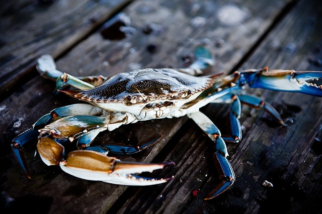Blue Crab: Dinner Catch, Sea Life, Animals, Sealife, Blue Crabs, Dinners, Beach Life, Photo, Backyards