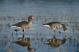 Travel Tips For A Nice Goose Hunting Trip. For more information http://www.showmesnowgeese.com/best-specklebelly-goose-hunting-tips-hunt-in-the-mississippi-flyway/
