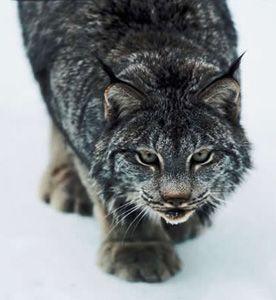 Lynx Lynx Lynx!: Beautiful Lynx, Big Cats, Beautiful Cats, Animal Kingdom, Beautiful Animals, Medium Sized Wildcats, Wild Cats, Amazing Animals, Bobcats Lynx Pix