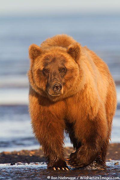 ALASKA GRIZZLY BEAR PICTURES  Grizzly Bear, Lake Clark National Park, Alaska