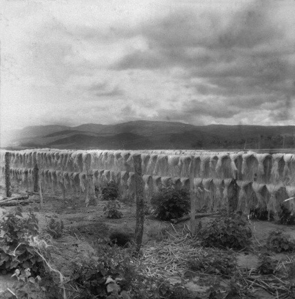 Desfibramento Do Sisal Em Irece Ba Fev 1962 Brasil E Bahia