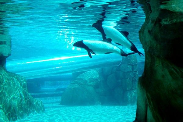 The most iconic animal of Aquatica may soon be no more. SeaWorld, Aquatica's parent company, has confirmed that the famous Commerson's Dolphins, which the Dolphins...