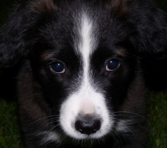 Brownie #puppy  #art #browniebrown #Border collie with a dash of Wolf #mydaughter