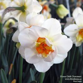 Flower Drift - Narcissus
