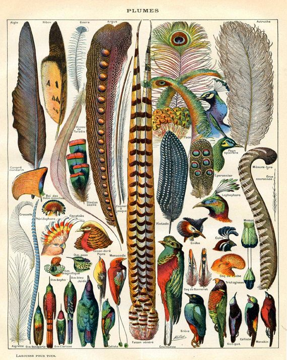 Bird Feather Art - Natural History Print - Woodland Antique Print - Scientific Illustration Vintage Print
