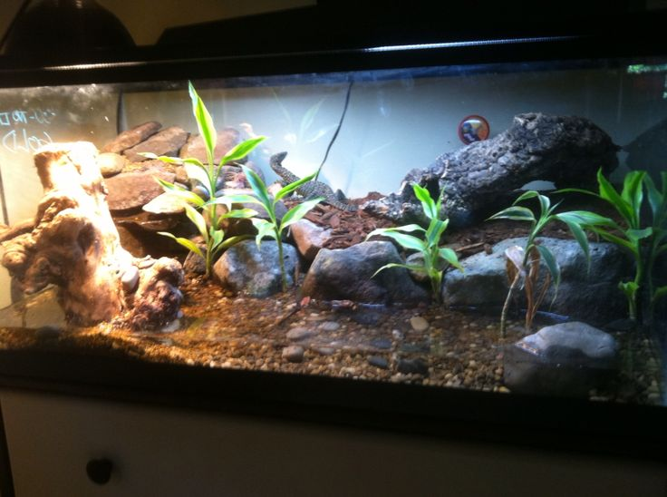 Mangrove Monitor Lizard Setup Ideas For The House