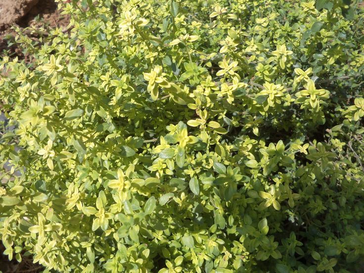 Lemon-thyme. Its elegant aroma mixes beautifully in salads and light dishes. __©Peggy Carajopoulou-Vavali