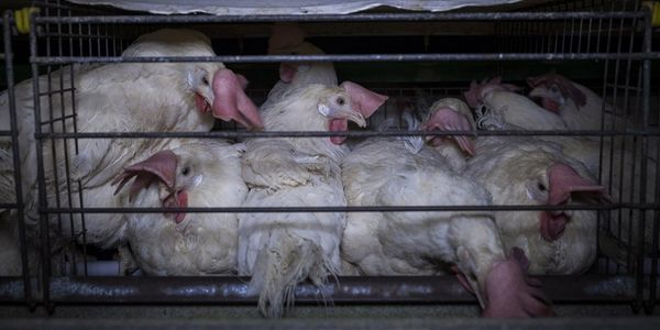 Il vero prezzo delle uova: nuova investigazione shock negli allevamenti italiani (VIDEO e PETIZIONE)