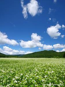 Soba field of Etanbetsu.Looking for more information aboout Hokkaido? Go Visit Asahikawa City. http://www.city.asahikawa.hokkaido.jp/