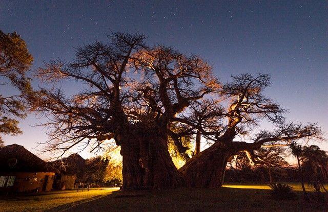 Sunlands Baobab
