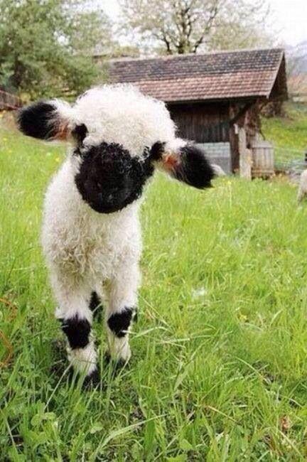 Valais black-faced sheep