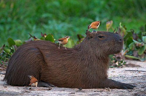 他の動物と仲良しのカピバラ10