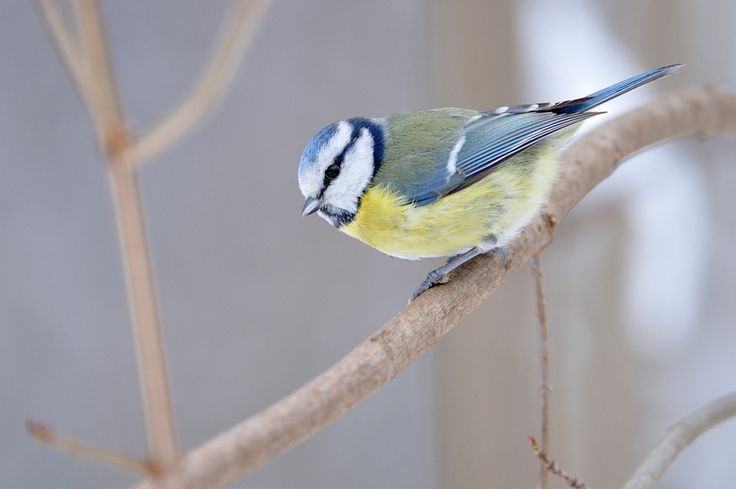 Listen to Blue Tit on british-birdsongs.uk, which is a comprehensive collection of English bird songs and bird calls.