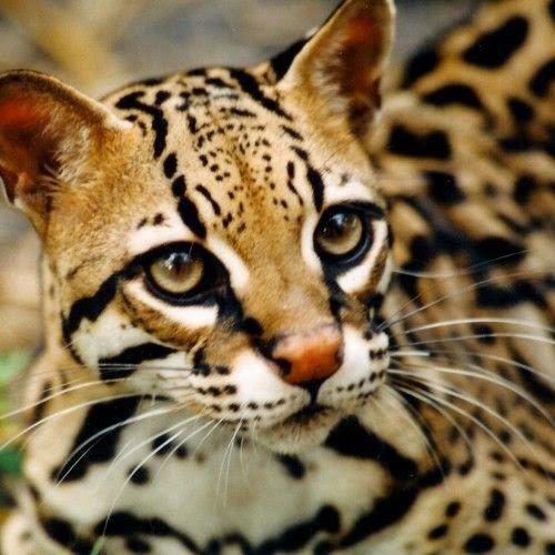 #5 OCICAT -----Top 5 Best Cat Breeds In The World
