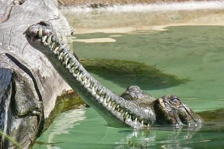 5 фотографий самого древнего крокодил