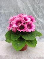 Когда цветет глоксиния?
