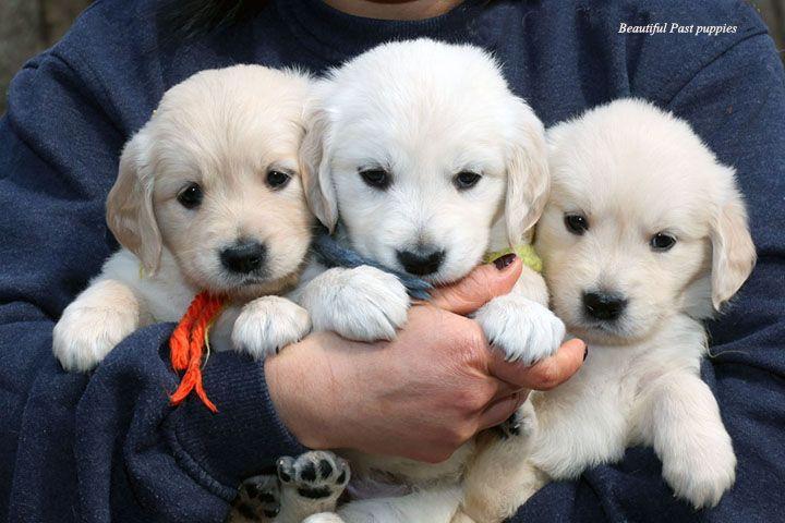 English Cream Golden Retreiver Mpepper Golden Retriever English Golden Retriever Puppy Golden Retriever White