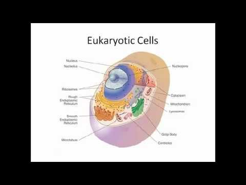 beneficial prokaryote Prokaryotes do not have mitochondria a prokaryote is a cell that does not contain membrane-bound structures called organelles a mitochondrion is an organelle, but because prokaryotes do not have.
