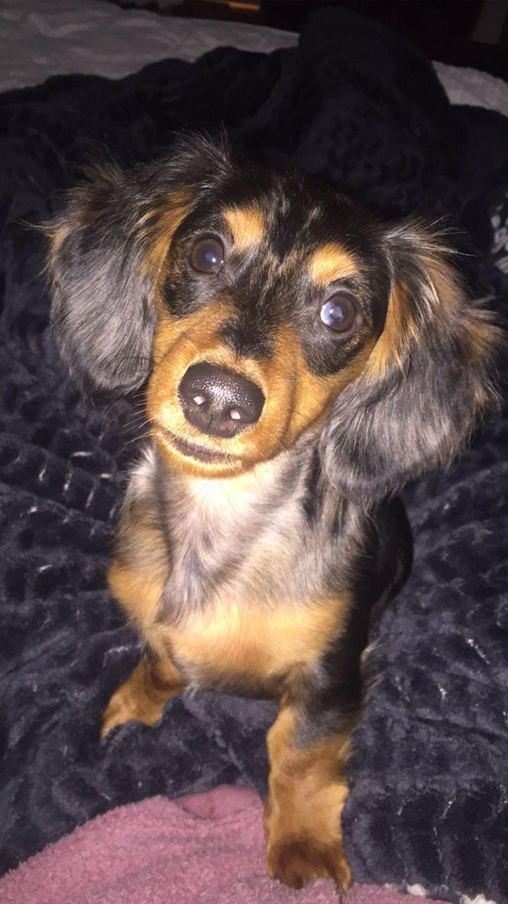 Oscar The Dappled Dachshund Long Haired Dachshund Weenie Dogs Dachshund