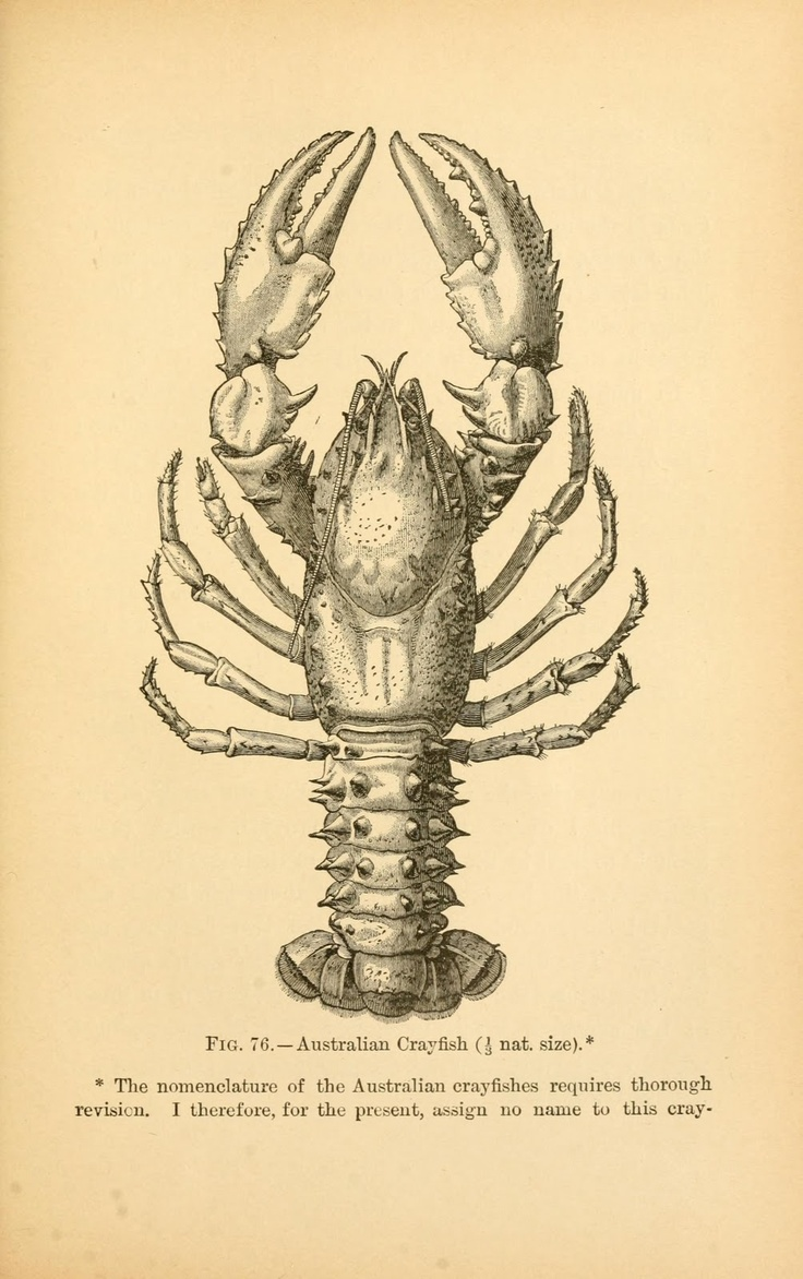 Vintage Ephemera: Book illustration, Crayfish, 1895