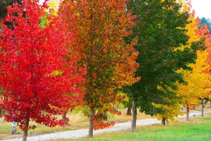 Amberbaum (Liquidambar) - Gartenzauber     Da weiss ich ja schon mal was später mal vor meinem Häuschen stehen wird
