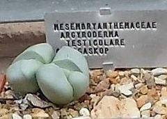 Argyroderma testiculare - Wikipedia, la enciclopedia libre