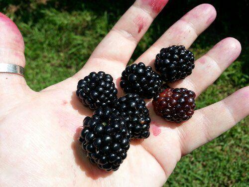 Canning blackberries.