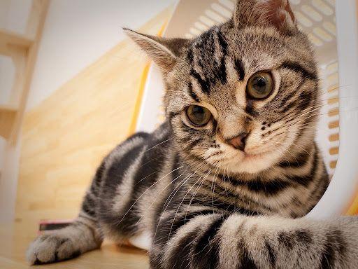 American shorthair cat breeders nz