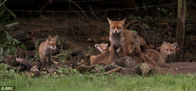 The vixen, and 12 cubs living in a garden