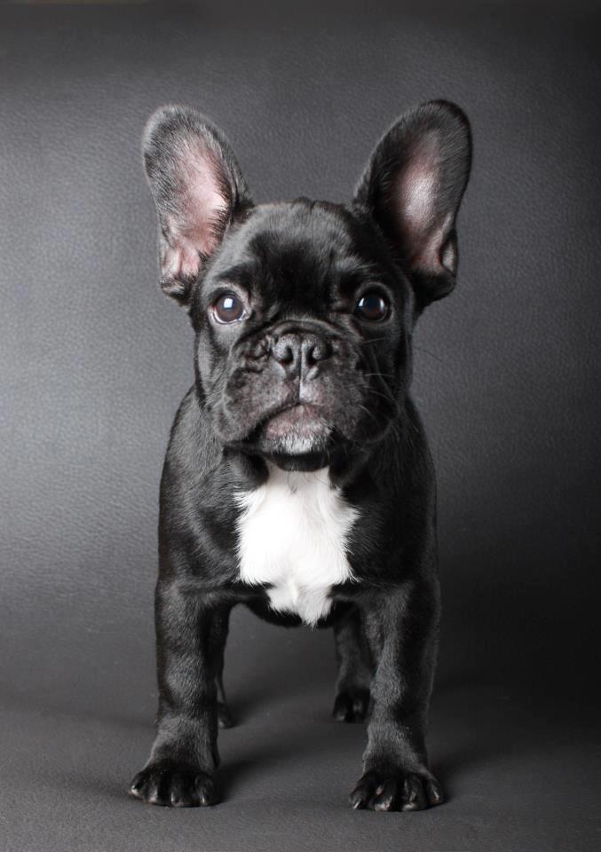 Bulldog Frances: Presiona la foto para averiguar toda la información de esta increíble raza.