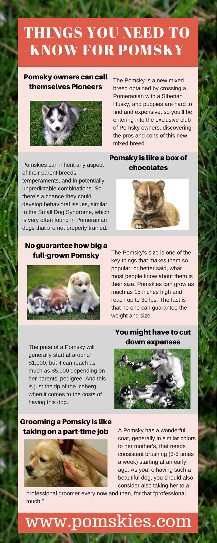 #Pomsky puppies are so cute, loving, intelligent and energetic dog. Anyone who think to adopt a Pomsky puppy, get to know all information about it. In this infographic, I have listed some tips that help you for buying a Pomskies. http://www.pomskies.com/top-personality-temperament-traits-pomsky/