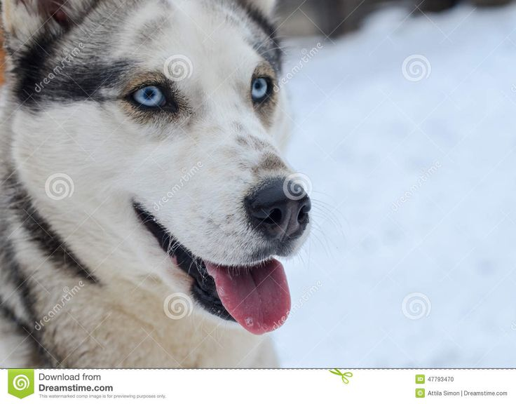 Grey white siberian husky portrait, female dog with blue eyes and sticking out tounge