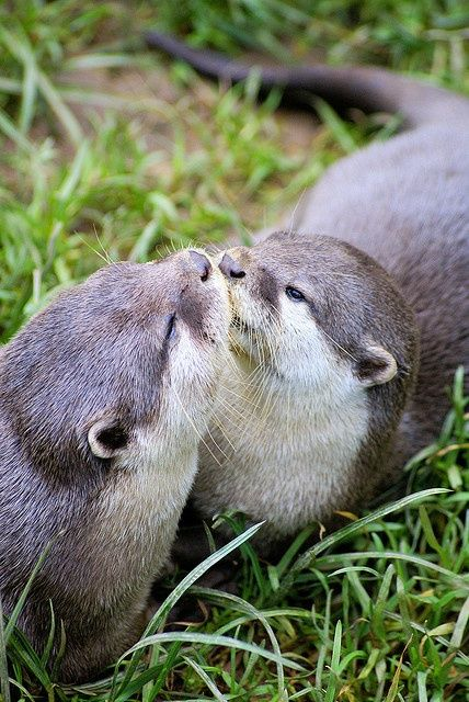 two beautiful otters kissing