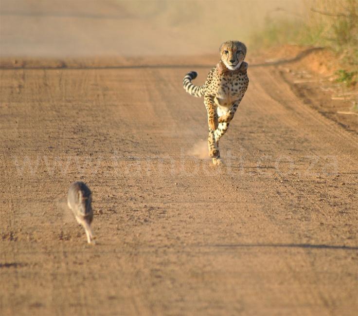 Cheetah at Dinokeng Game Reserve
