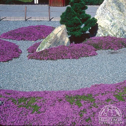Plant Profile for Thymus serpyllum - Mother-of-Thyme Perennial