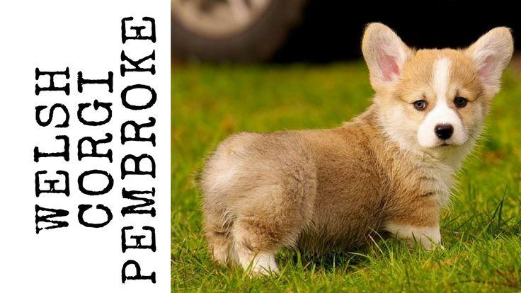 Te explicamos aquí todo sobre el Welsh Corgi Pembroke. También se le conoce como #Corgi galés de Pembroke. En el País de Gales, de donde es originaria esta #raza de perro pastor, se cuenta una vieja leyenda según la cual el welsh corgi Pembroke era el #perro de las #hadas y los #duendes que habitaban en los bosques #galeses.