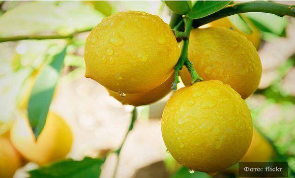 Лимон Мейера: выращиваем дома самый вкусный и плодоносящий лимон  | YACENKA