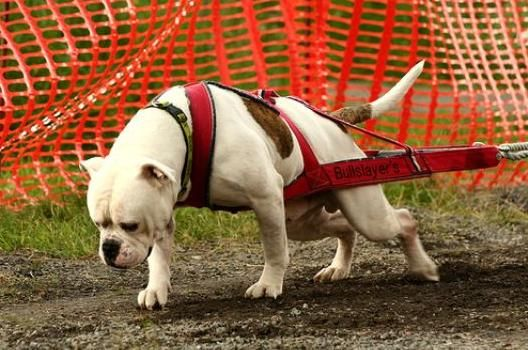 Best Weight Pulling Dog Breeds