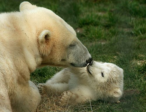 "romanceoftheworld: ""Polar bear and cub """