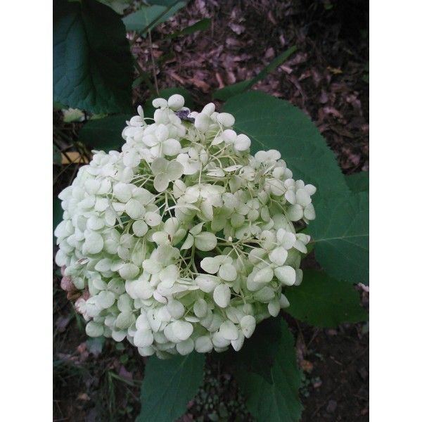 """3 gallon, INCREDIBALL HYDRANGEA, Incredible 12"""" blooms on stems so strong so drooping is never a problem, blooms from early summer until fall(Hydrangeas Shrub, Evergreens, Gardenia"""
