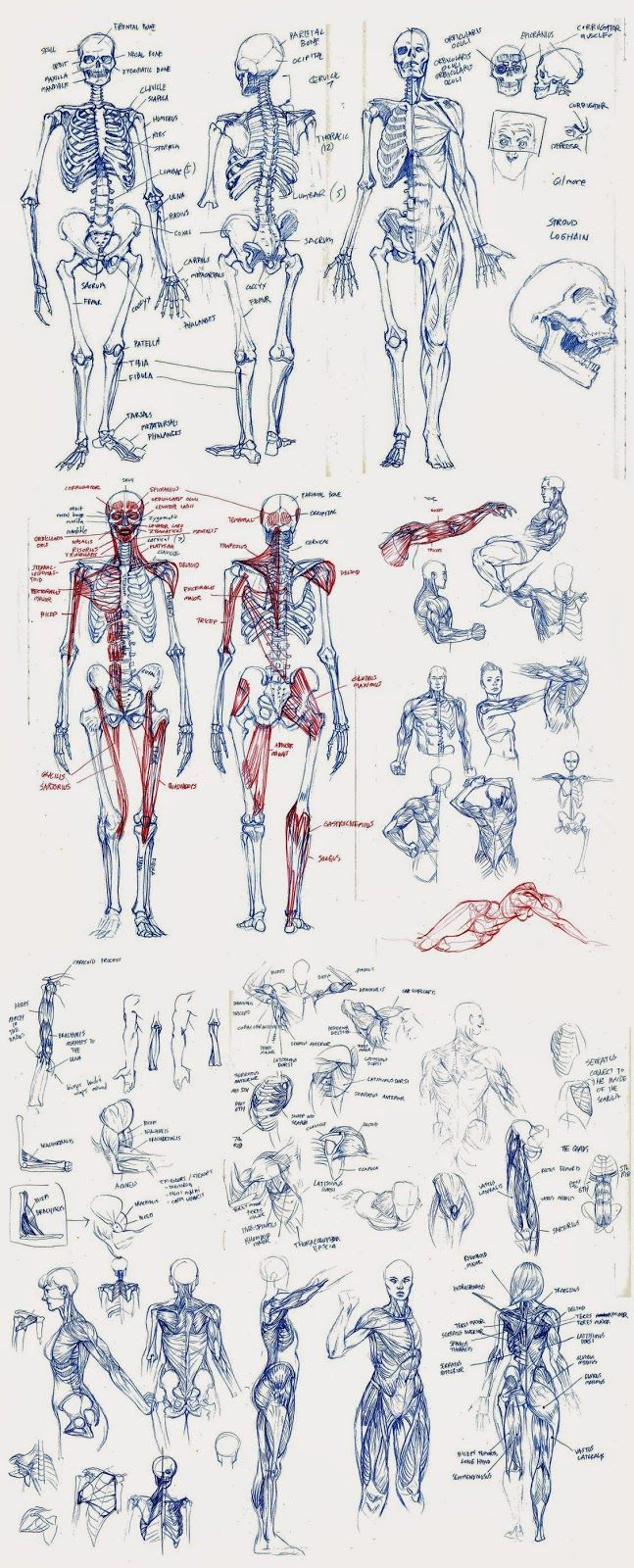 Matt Rhodes- anatomy sketches